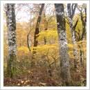 秋のブナ原生林
