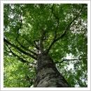 葉を広げるブナの巨木
