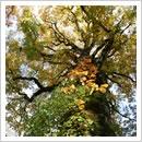 黄葉したブナの巨木とツタウルシ
