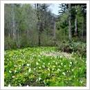 ミズバショウ咲く湿原(6月)