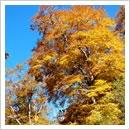 ブナの木(秋)(10月)