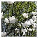 春を告げるタムシバ(5月)