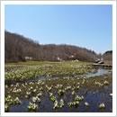 湿原いっぱいのミズバショウ(4月下旬~5月上旬)