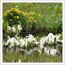 ミズバショウとリュウキンカ 双方が咲き乱れる水辺(4月下旬~5月上旬)