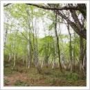 新緑のシラカンバ林(6月)