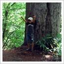 ヒメコマツの大樹