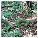 タカノツメへび樹形