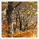 白木登山道ブナ林の紅葉(10月)
