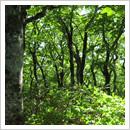 ブナの林(6月)