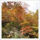 数河の紅葉した雑木林(10月)