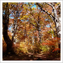 紅葉するブナの森(10月)