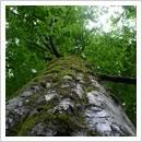 ブナの巨木(7月)