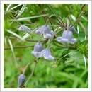 クサボタンの花(6月)