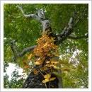 紅葉したツタウルシをまとうブナの木(9月)