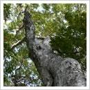 巨木の勇壮な伸び上がり(9月)