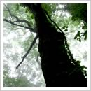 イタヤカエデの大樹(6月)